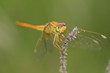Scarlet skimmer, Crocothemis servilia, dragonfly, close-up