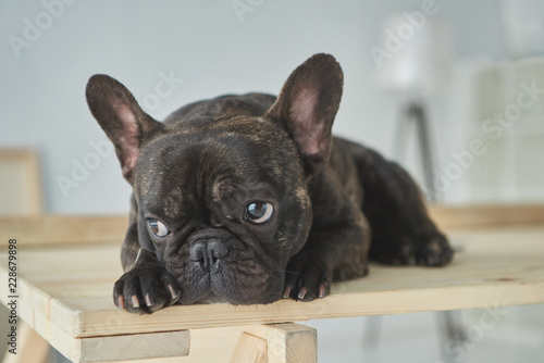 Deurstickers Franse bulldog close-up view of adorable black french bulldog lying on wooden table in new home