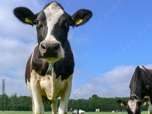 Wall Murals Cow Black and white cow standing in a pasture with more cows under a blue sky, with collar and yellow ear tags.