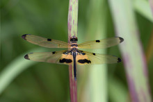 Rhyothemis Phyllis, Yellow-striped Flutterer, Dragonfly, Close-up