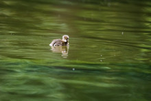 Duckling On A Lake