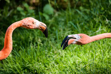Flamingos Fighting With Each Other