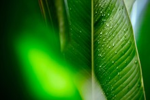 Water Drop On Banana Leaf, And Close Up Line Pattern Of Green On Leaf, Green Abstract Background