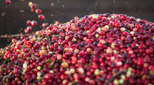 Cranberries Loaded Into The Tr...
