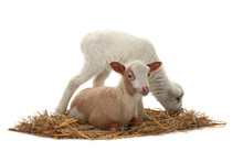Baby Sheep On A White