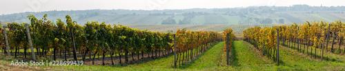 Fotomural  Goldener Herbst im Weingarten