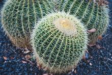 Cactus Plant Closeup, Barrel Cactus