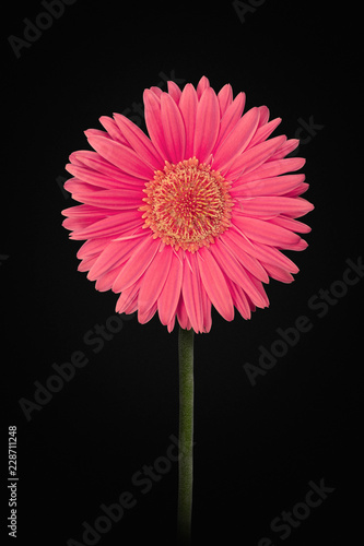 Pink Gerbera flower isolated on black background