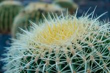 Barrel Cactus Plant Closeup