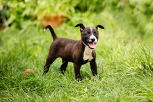 Portrait Of A Cute, Happy Mixed Breed Small Puppy In Black, Brown And White Colors, Saved From The Streets, Playing In The Backyard