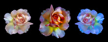 Three Surrealistic Vintage Rose Blossoms On Black Background,  Colorful Fine Art Still Life Floral Macro Flower Portrait Collage/set/group Of Isolated  Blooms With Detailed Texture In Painting Style