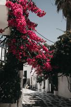 Big Pink Flower Bush On Street