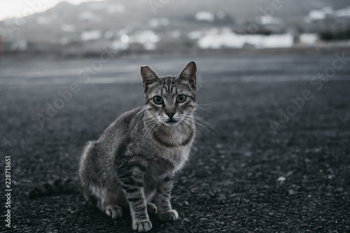 Funny cat with grey coat pattern