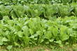 畑の野沢菜と白菜
