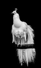 A White Leucistic Peacock Perc...