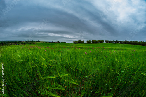Fotografie, Obraz  Campo di grano verde