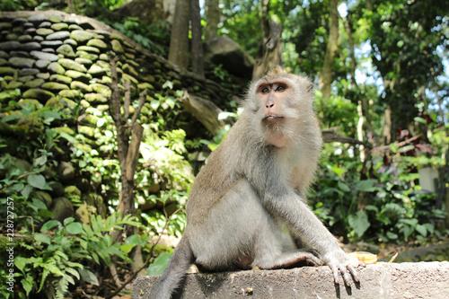 Fotobehang Aap 猿(インドネシア・モンキーフォレスト)