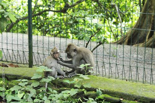 猿(インドネシア・モンキーフォレスト)