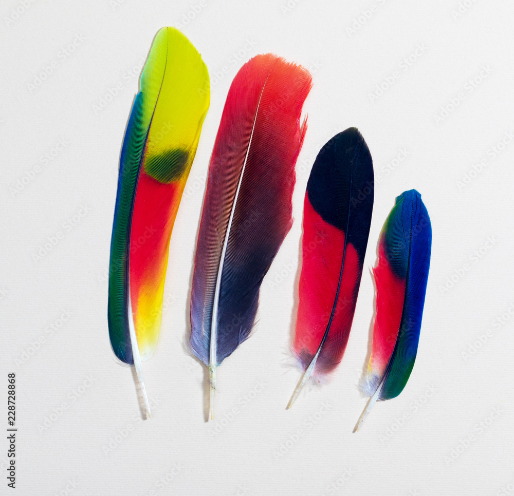 Four colorful parrot bird feathers on white