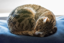 Black, Beige And White Cat Curled Up And Fast Asleep On Top Of A Blue Sofa