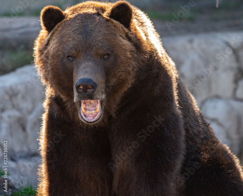 grizzly bear has spotted you