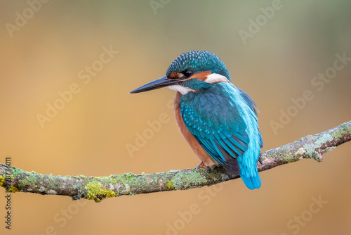 Foto Alcedo atthis, Common kingfisher
