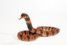 Schildnasenkobra (Aspidelaps Lubricus) - Cape Coral Snake