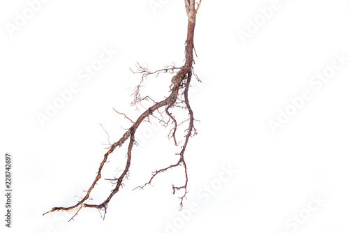 Roots of young plant isolated on white background Fototapet
