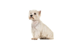 West Highland White Terrier Or...