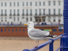 Lone Seagull Perched On The Railing Of Eastbourne Pier
