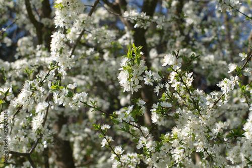 Pflaume, Prunus cocomilia