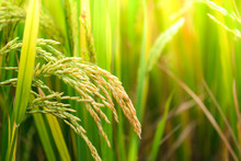 Rice Field. Closeup Of Yellow Paddy Rice Field With Green Leaf In Autumn. Royalty High-quality Free Stock Image Of Beautiful Close Up Of Organic Rice Fields Or Paddy Field Prepare The Harvest