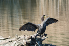Double-crested Cormorant With Outstretched Wings On A Log In A Pond.