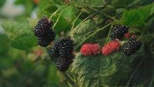 Blackberries Growing On Thorny...