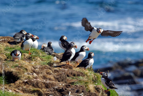 Puffins Preparing Nests For Young in Early Summer Canvas-taulu
