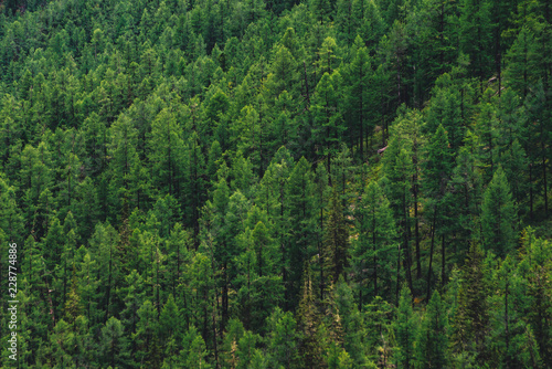 Tableau sur Toile Detailed texture of conifer forest on hill close up
