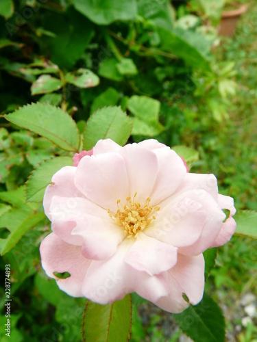 Fotografía  pale pink rose rosaceae 1