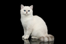 Playful British White Cat, With Blue Eyes, Sitting On Isolated Black Background, Side View