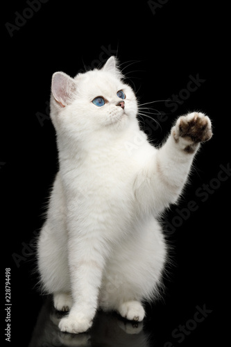Fotografía  Playful British White Cat, with blue eyes, Sitting and catching paw with toy on