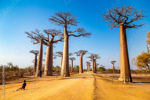 In de dag Baobab Young boy by the Avenue of the Baobabs near Morondova, Madagascar.