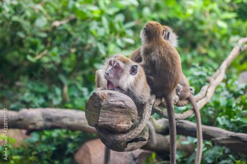 Foto op Plexiglas Aap Surprised monkey with 2 monkeys sitting behind her on the liana in the zoo