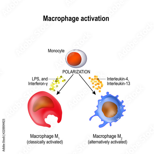 Canvas Print macrophage. Activation and polarization