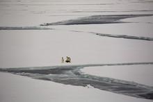 Emperor Penguins In McMurdo Bay