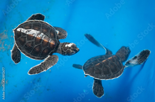 Two sea green turtles in Sanctuary