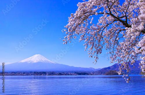 Fototapeta 河口湖北岸から見る満開の桜と富士山   obraz na płótnie