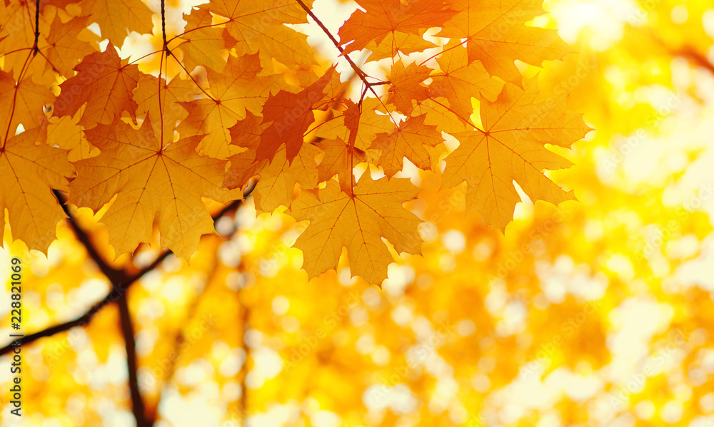 Fototapety, obrazy:  Autumn leaves on blurred nature background.