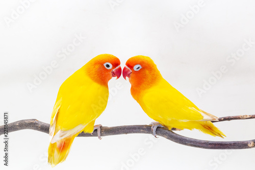 Photo  The Double Yellow Lovebird on white backgro