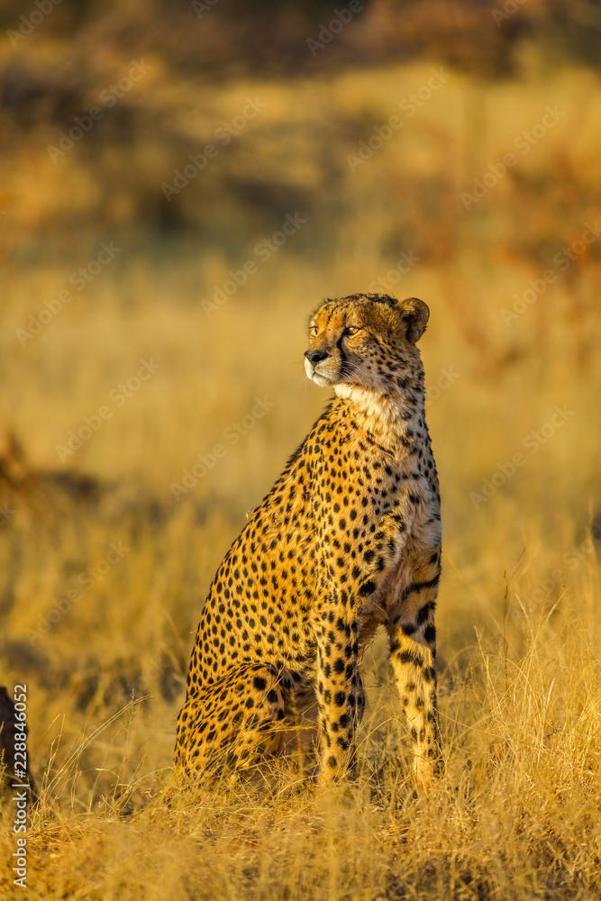 African cheetah species Acinonyx jubatus, family of felids, standing in Madikwe, South Africa. Vertical shot on blurred background.