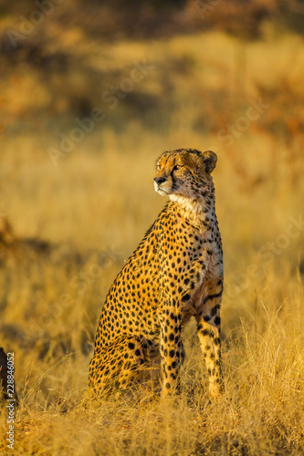 African cheetah species Acinonyx jubatus, family of felids, standing in Madikwe, South Africa. Vertical shot on blurred background.