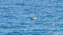 Young Gull On The Calm Sea Sur...